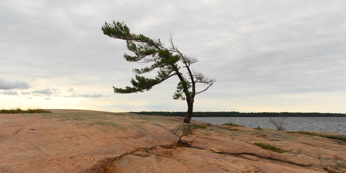Killbear Tree - Lone Pine
