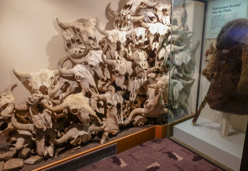 Pile of buffalo skulls in display Head-smashed-In Buffalo Jump