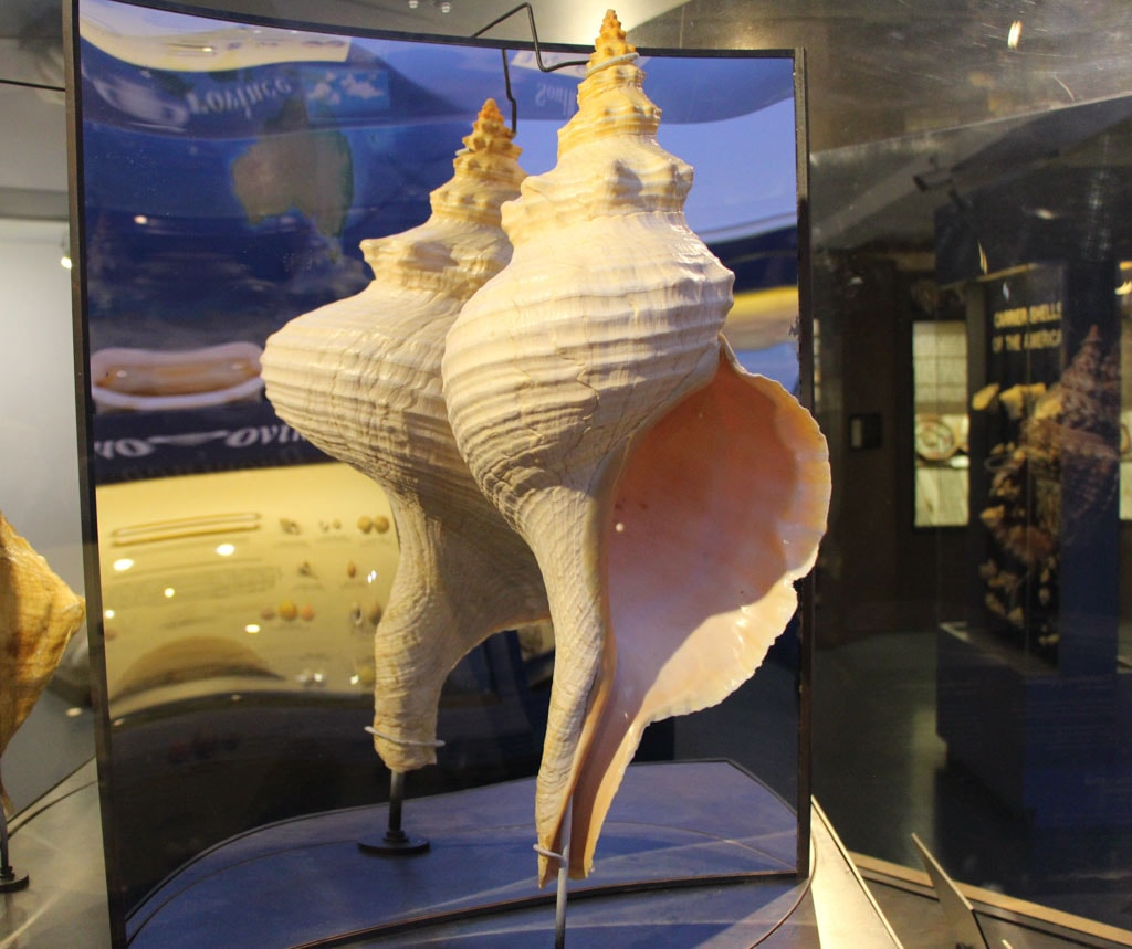 Record-Sized Shell Bailey Matthews Shell Museum