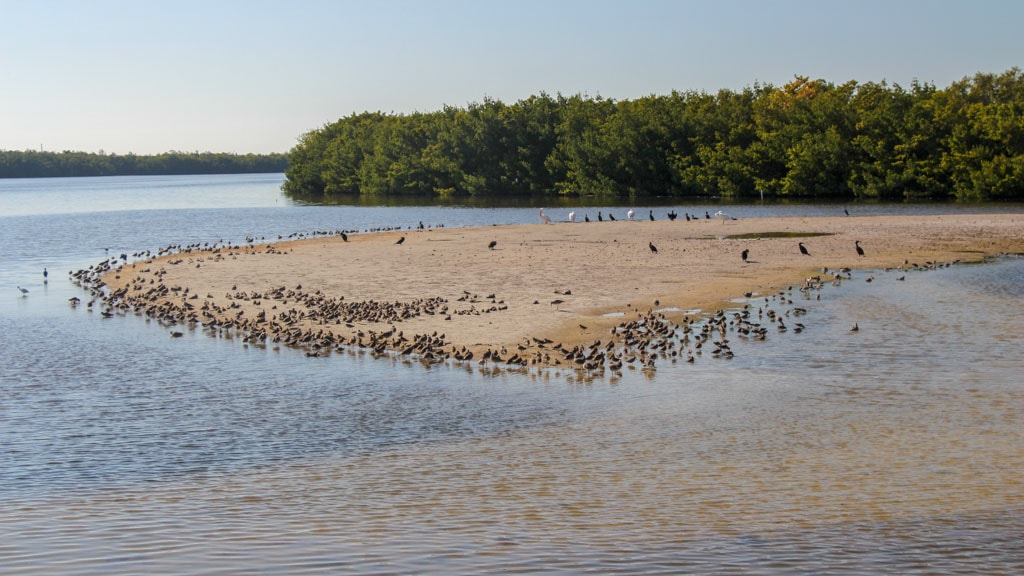 "Birds on sandbar ""Ding"" Darling"