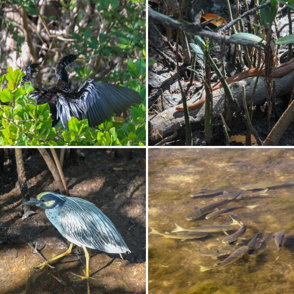 "4 shots of wildlife Mangroves ""Ding"" Darling"